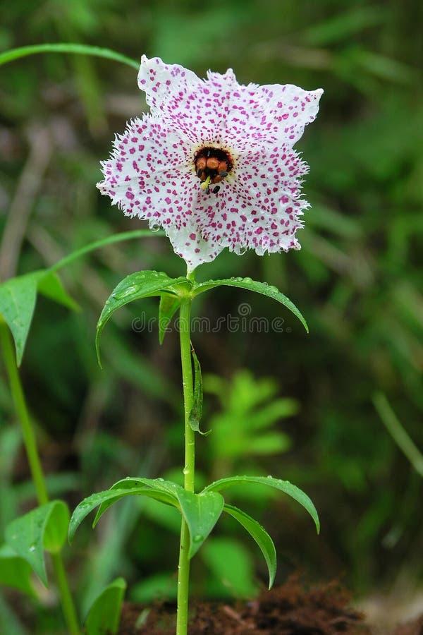 wysokogórski kwiatu lodowa gongga obraz stock