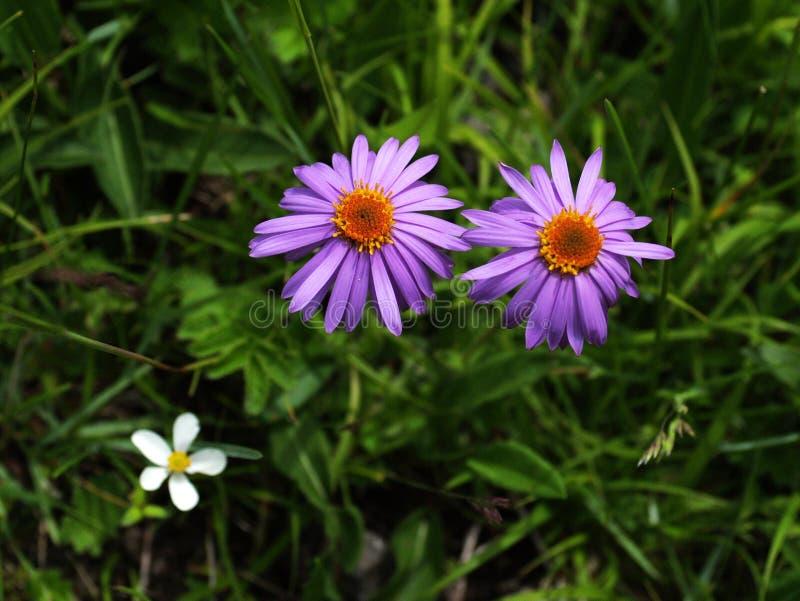 wysokogórski kwiatu lodowa gongga zdjęcia stock