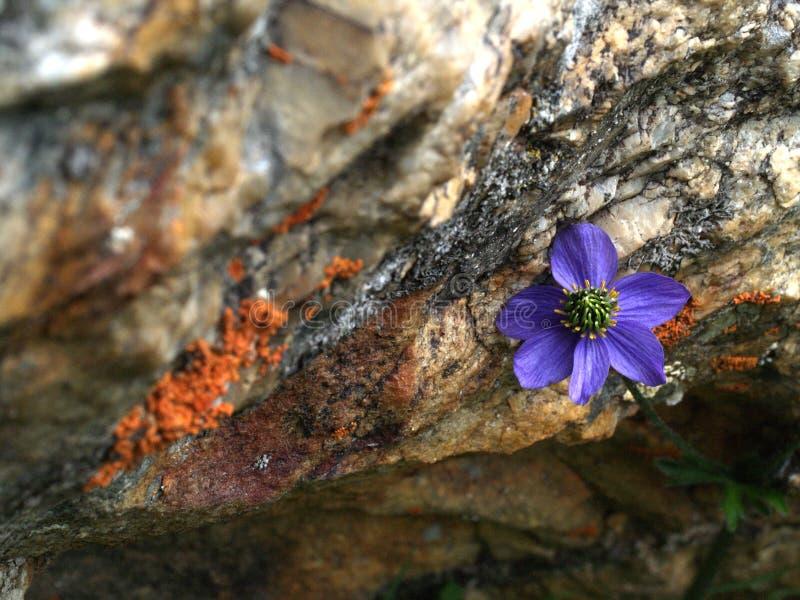 wysokogórski kwiatu lodowa gongga fotografia stock