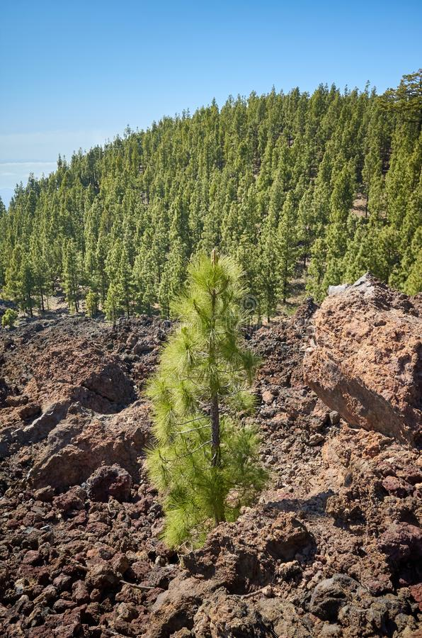 Wyspa Kanaryjska sosnowy las w Teide parku narodowym, Tenerife zdjęcia stock