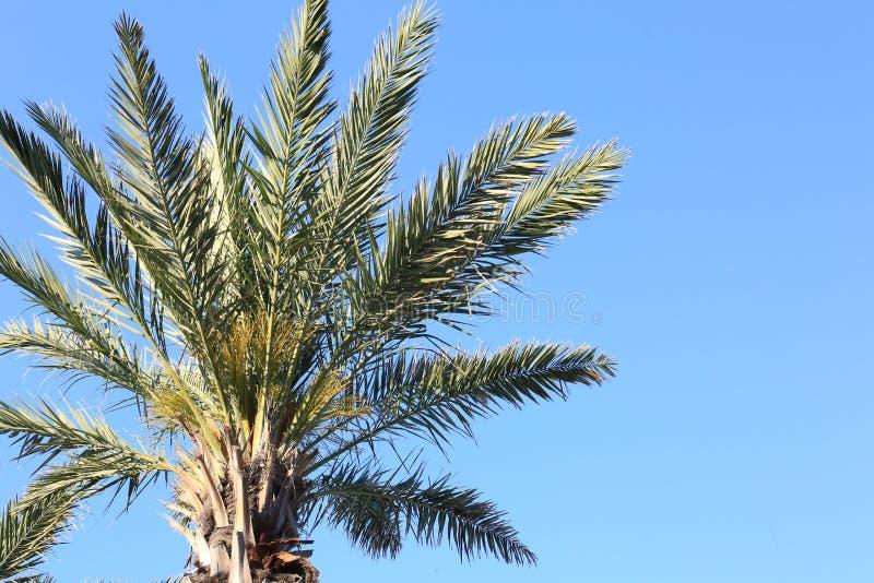 Wyspy Kanaryjskiej Daktylowa palma z niebieskim niebem w ranku obraz royalty free