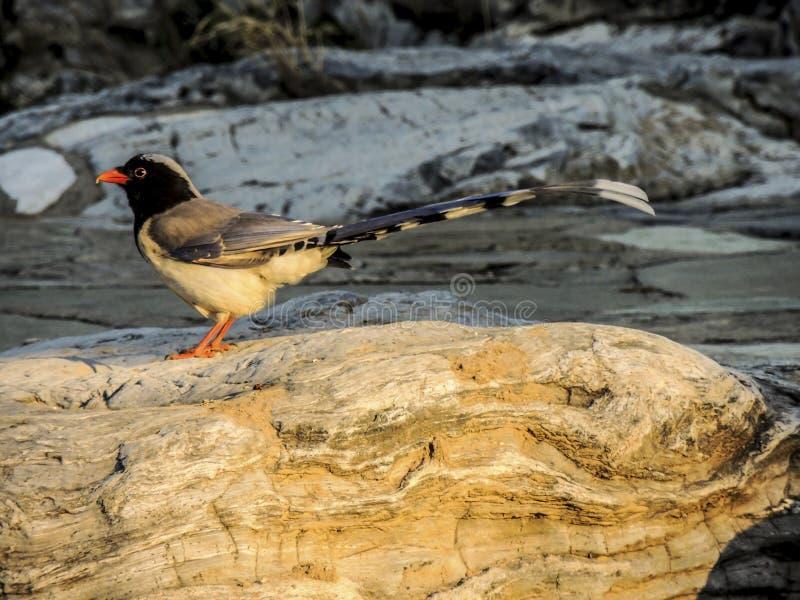 Wystawiająca rachunek Błękitna sroka, ptak fotografia stock