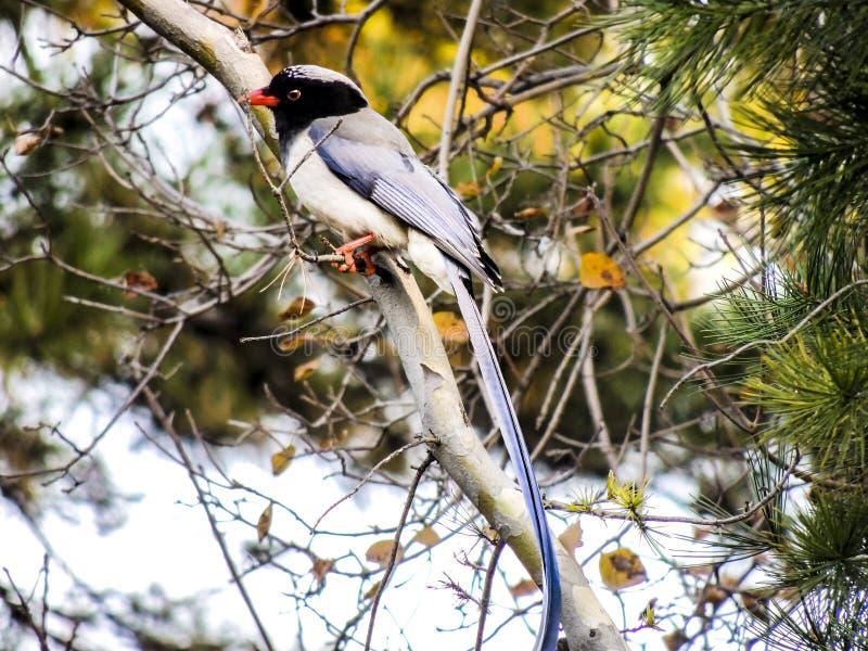 Wystawiająca rachunek Błękitna sroka, ptak fotografia royalty free