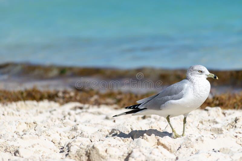 wystawiająca rachunek frajera Larus Delawarensis pozycja na plaży zdjęcie stock