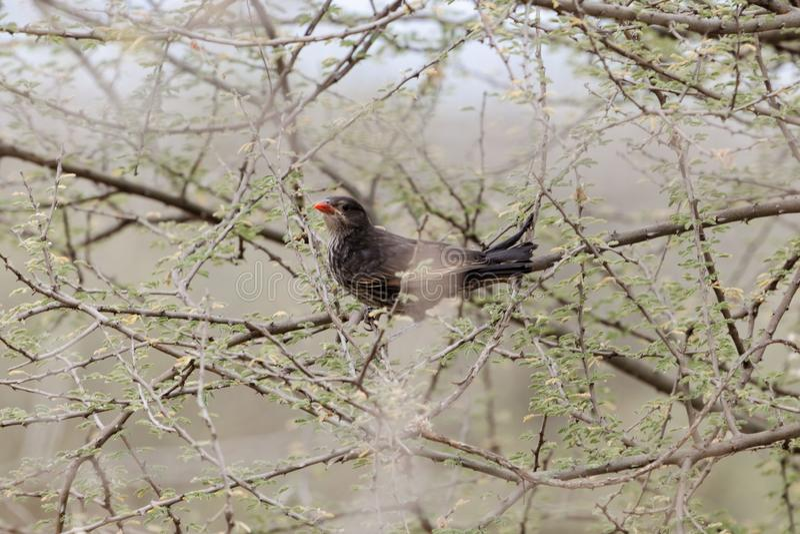 Wystawiający rachunek bawoli tkacz Bubalornis Niger zdjęcia stock