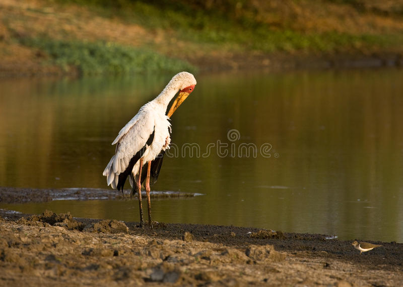 wystawiający rachunek bocian w brzeg rzeki, letaba, kruger nationl park (Mycteria ibis) zdjęcia royalty free