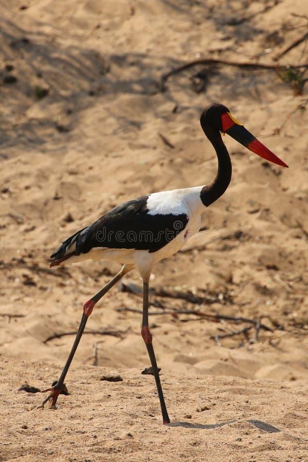 Wystawiający rachunek bocian w Kruger parku narodowym fotografia stock
