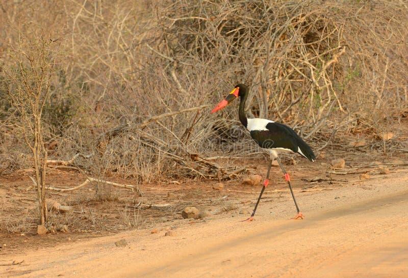 Wystawiający rachunek bocian w Kruger parku narodowym obrazy stock