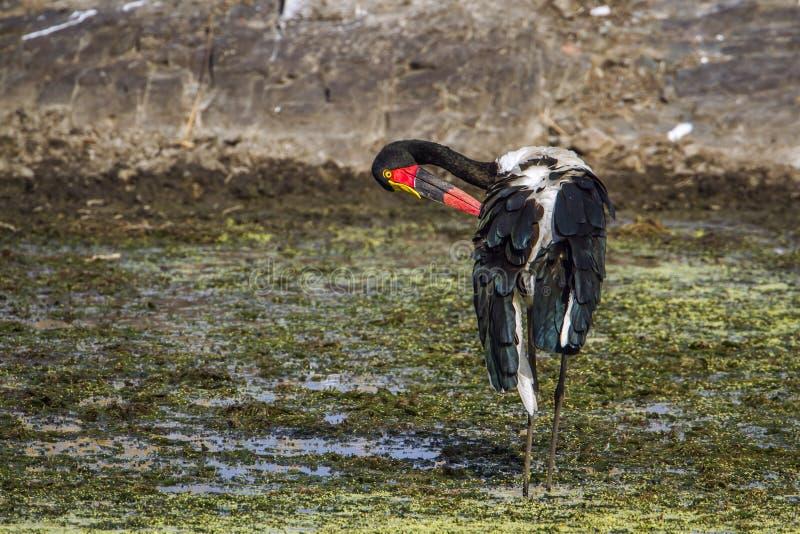 Wystawiający rachunek bocian w Kruger parku narodowym, Południowa Afryka zdjęcie royalty free