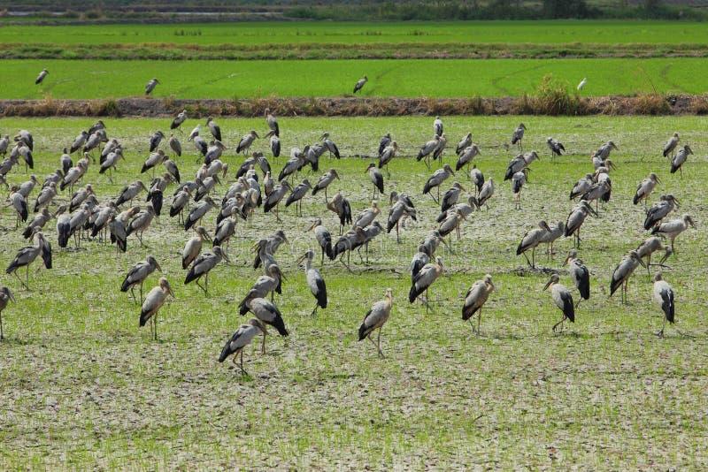 Wystawiający rachunek Bocianowy ptak, zdjęcia stock