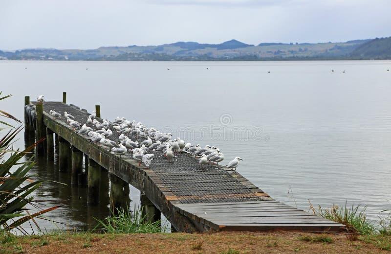Wystawiający rachunek seagulls na Rotorua jeziorze zdjęcia stock