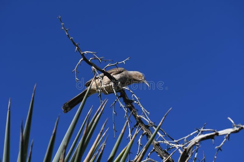 Wystawiający rachunek Thrasher - ptak przeciw jasnemu niebieskiemu niebu zdjęcia stock