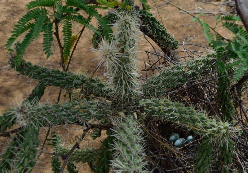 Wystawiający rachunek thrasher ` s jajka dobrze ochraniający fotografia royalty free