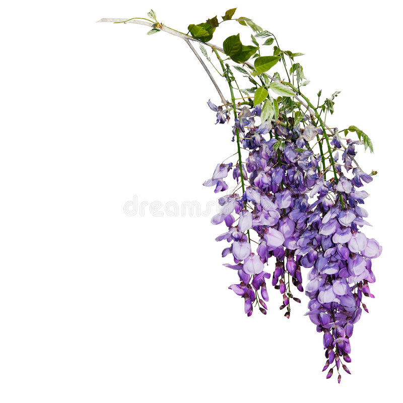 Download Wysteria stock image. Image of horticultural, botanical - 5059889