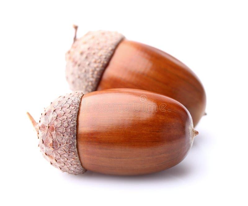 Wysuszeni acorns obrazy royalty free