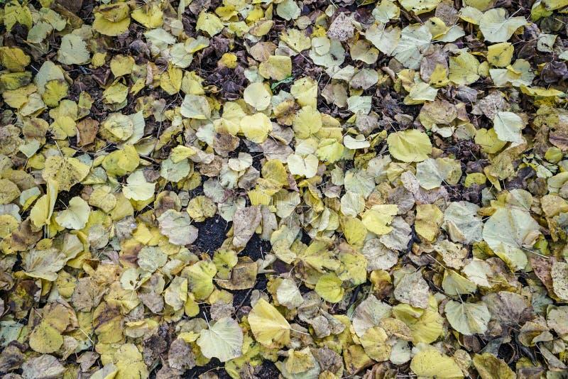 Wysuszeni jesień liście jako tło fotografia royalty free
