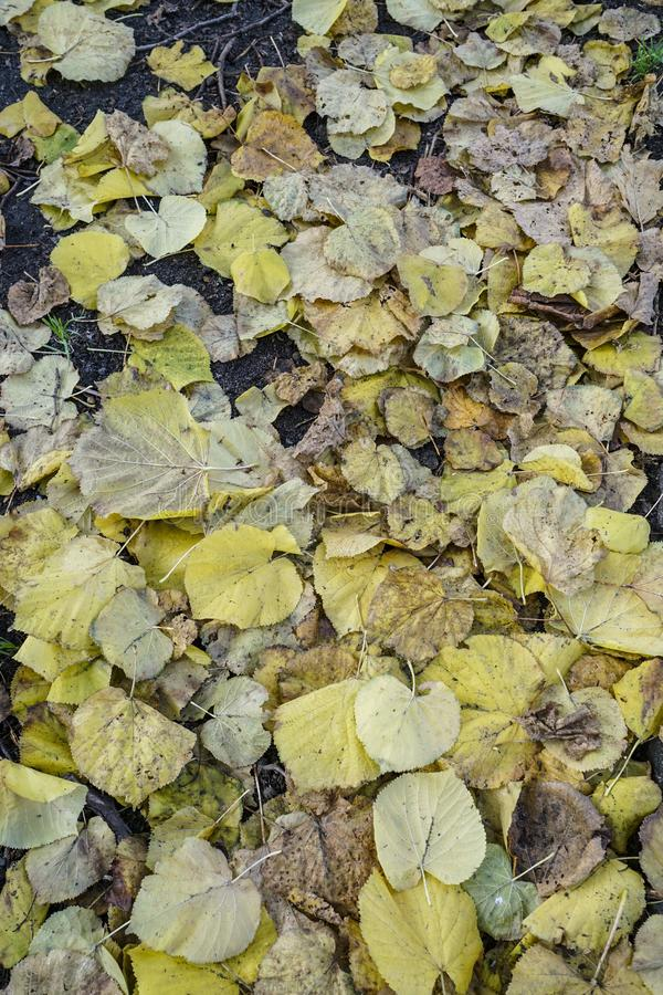 Wysuszeni jesień liście jako tło zdjęcie royalty free