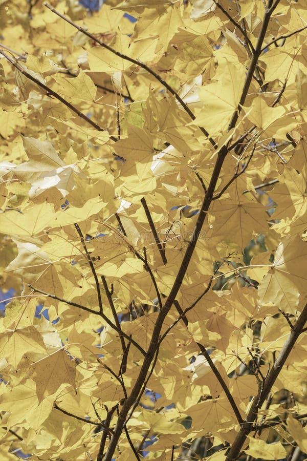 Wysuszeni jesień liście jako tło obraz royalty free