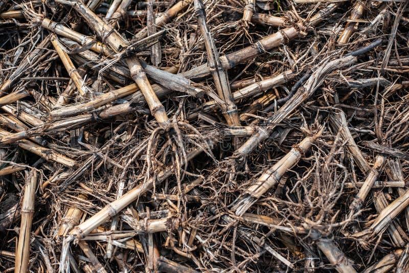Wysuszeni kukurydzani cobs na zachód ziemi obraz stock