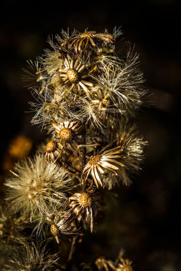 Wysuszeni kwiaty, oset obraz royalty free