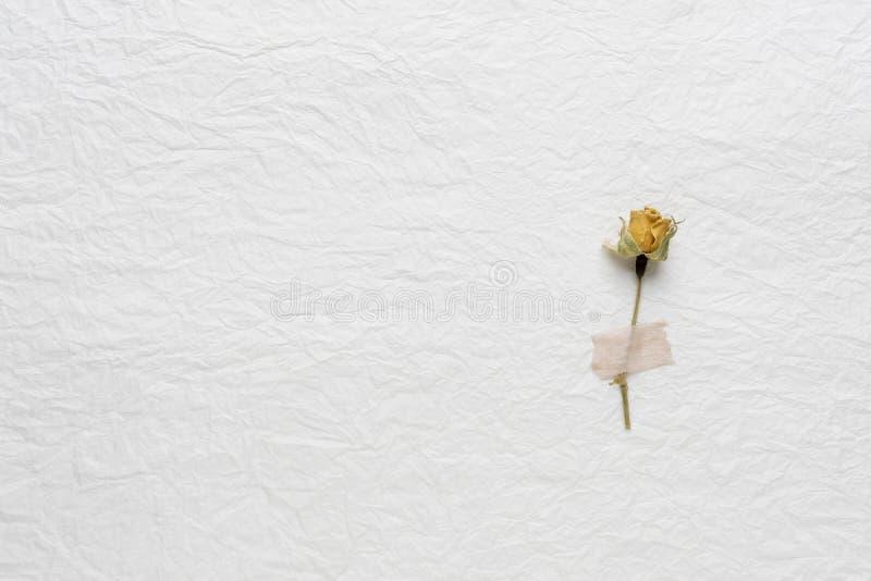Wysuszeni kwiaty róże na białym papierze Menchie yellow zdjęcia stock