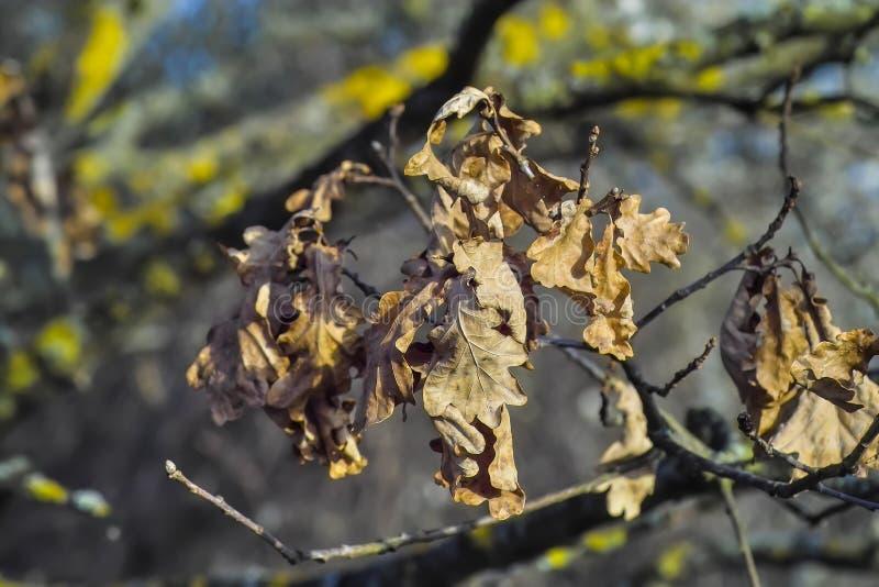 Wysuszeni liście Angielski dąb, Pospolity dąb, Quercus Robur, Quercus pendunculata po zimy, zdjęcie stock