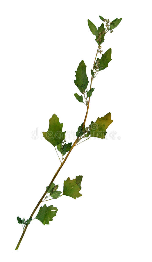 Wysuszeni liście biały chrząstkowiec zdjęcia royalty free