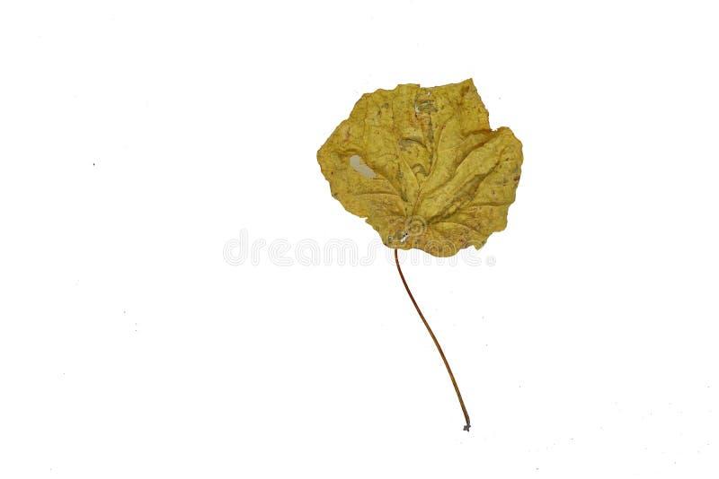 Wysuszeni liście fotografujący z białym tłem, zdjęcia stock
