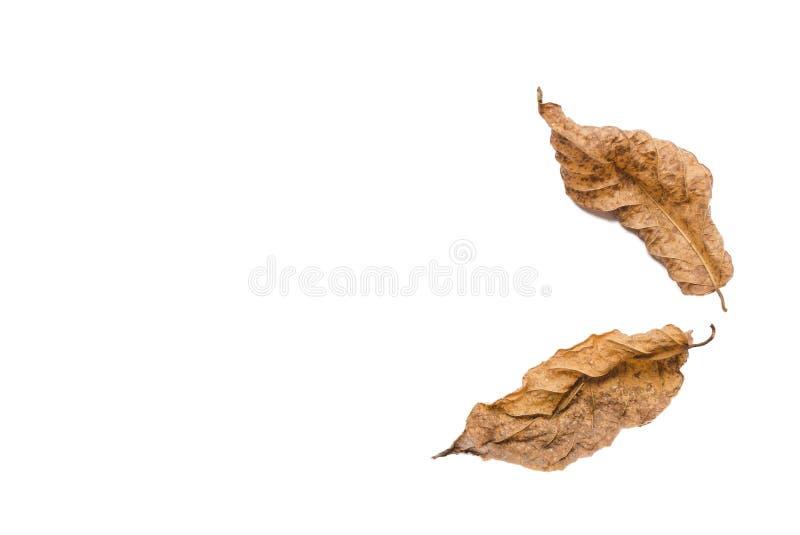 Wysuszeni liście na białym tle, ioslated fotografia stock