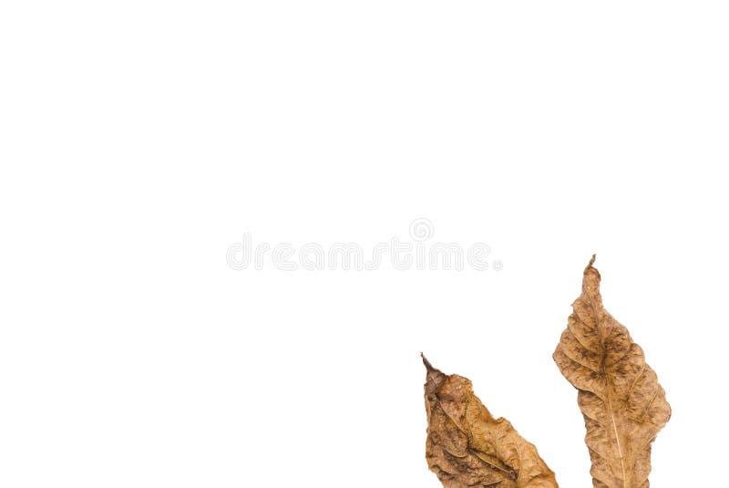 Wysuszeni liście na białym tle, ioslated zdjęcia stock