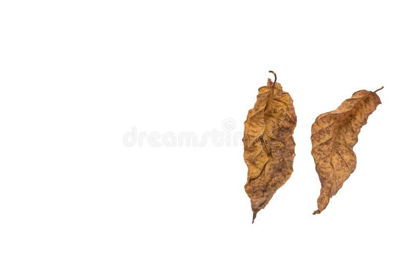Wysuszeni liście na białym tle, ioslated zdjęcie royalty free