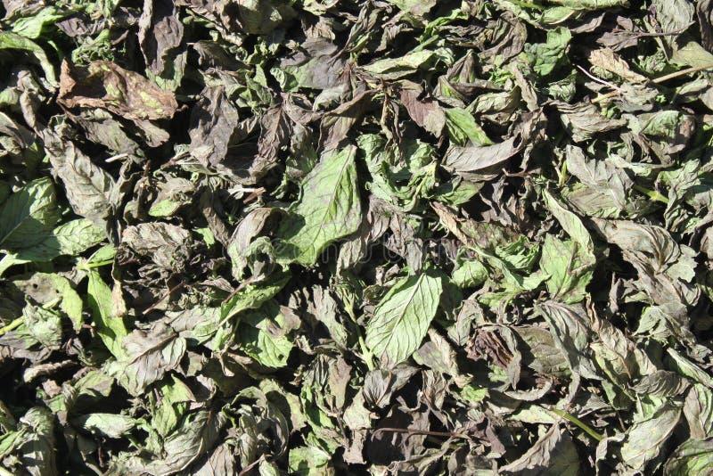 Wysuszeni miętówka liście dla herbaty obraz stock