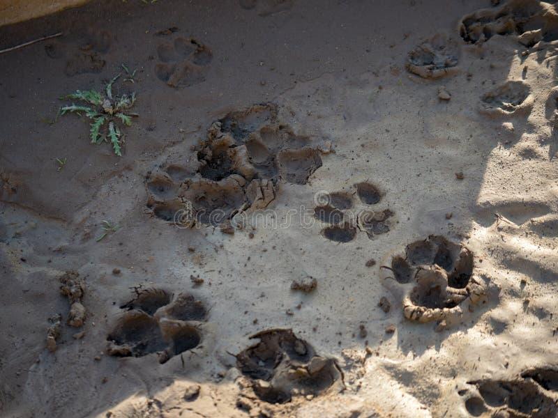 Wysuszeni psi pawprints w błocie i cieniu zdjęcie stock