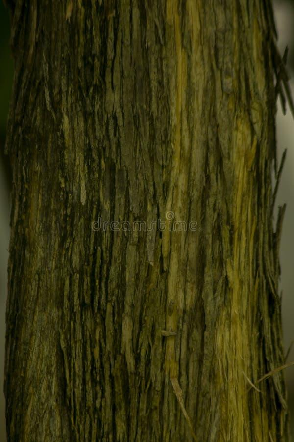 Wysuszona drzewna barkentyna na bagażniku obraz royalty free