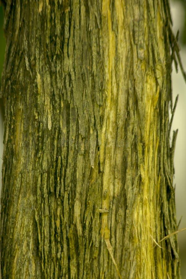 Wysuszona drzewna barkentyna na bagażniku zdjęcie stock