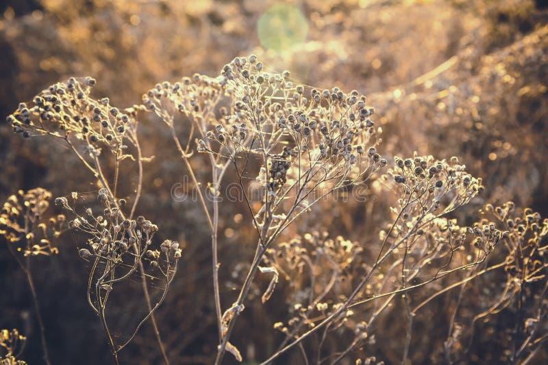 Wysuszona jesieni trawa jako tło, parawanowy ciułacz zdjęcie royalty free