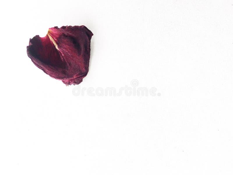 Wysuszona płatek czerwieni róża odizolowywająca na białym tle zdjęcie royalty free