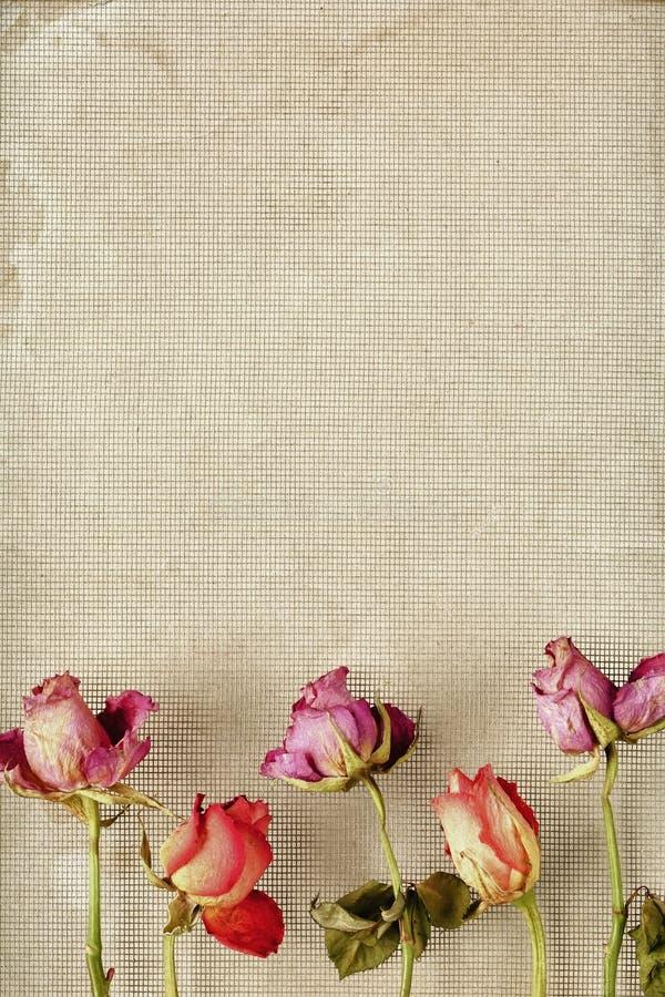 Wysuszona róży rama obraz stock