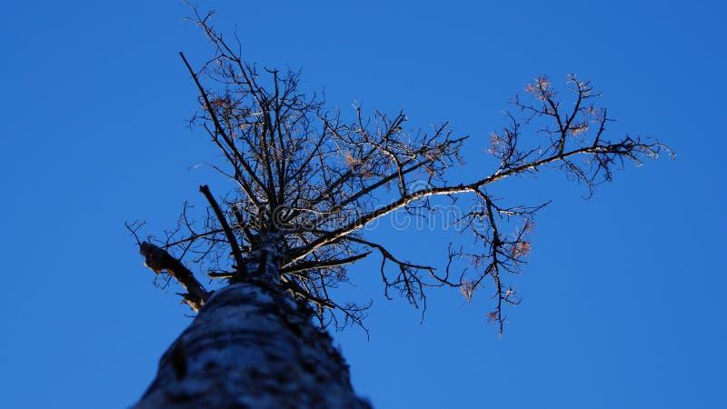 Wysuszona sosna w jesieni Widok spod spodu obraz stock