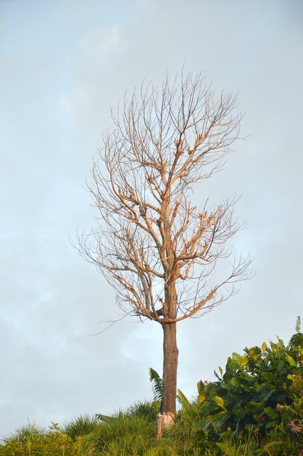 Wysuszone gałąź na dużym drzewie fotografia royalty free