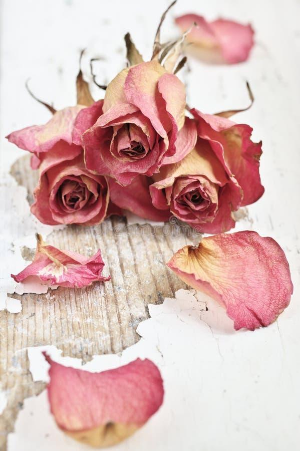 Wysuszone róże obrazy stock