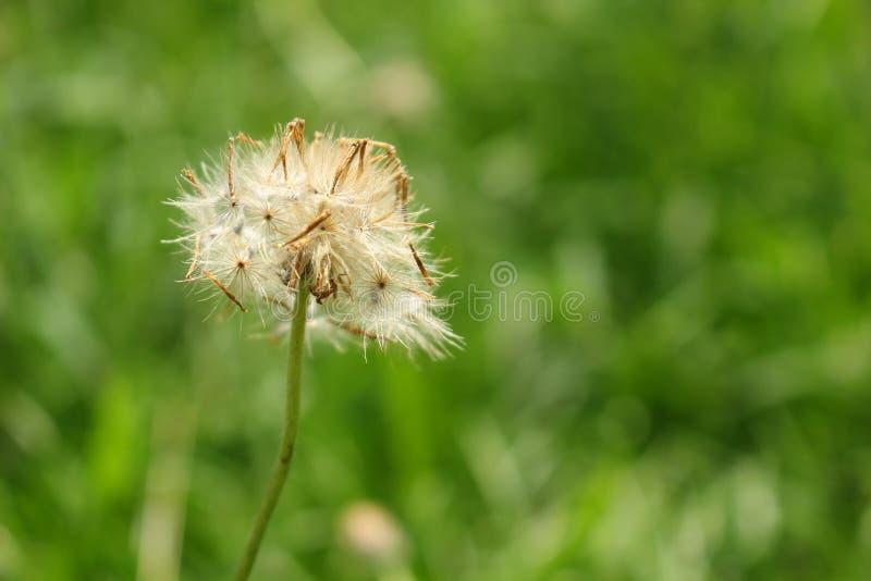 Wysuszony żakietów guzików kwiat zdjęcia royalty free