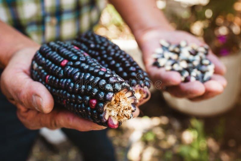 Wysuszony błękitny kukurydzany cob, kukurydza błękitny kolor w meksykanin rękach w Mexico obrazy stock