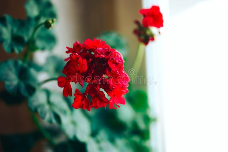 Wysuszony czerwony bodziszka kwiat dekoracyjny zimnotrwały bodziszka pelargonium obraz royalty free