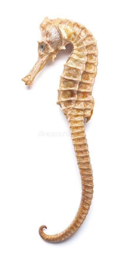 Wysuszony giganta rozmiaru seahorse na bielu obraz stock