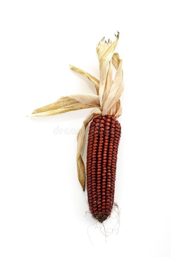 Wysuszony i farbujący kukurydzany cob zdjęcie royalty free