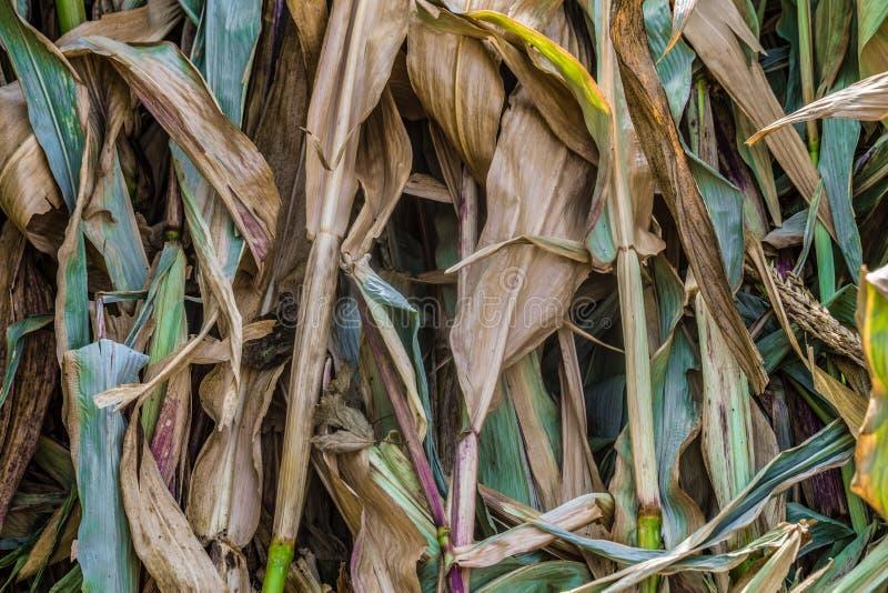 Wysuszony kukurydzany ulistnienia tło Naturalna badyl roślina fotografia stock