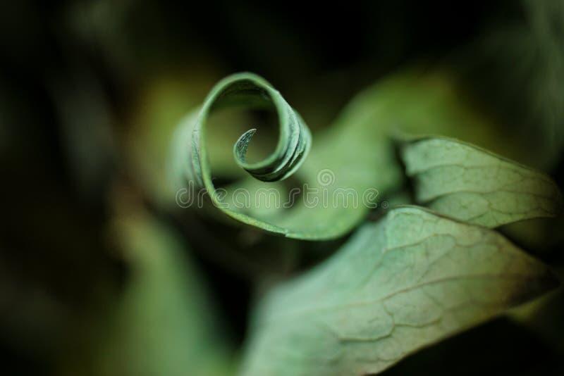 Wysuszony liść fryzujący jak spirala zamknięty zamknięta natura obraz stock