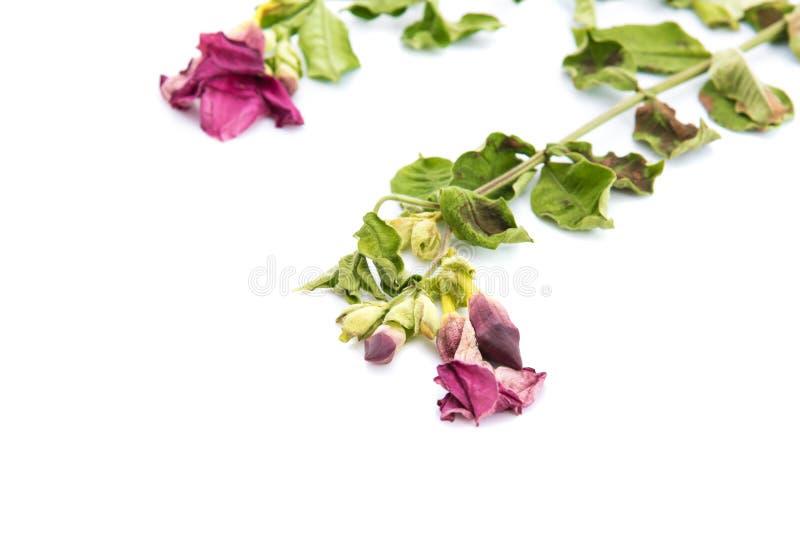 Wysuszony purpura pączek zdjęcie stock