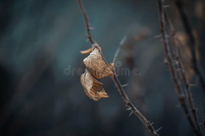 Wysuszony rosehip liść, kolec, wrzosiec, eglantine, pies wzrastał, rosehip, dziki wzrastał na zmroku - błękitny tło Suchy liść na obrazy royalty free